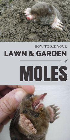 How To Rid Your Lawn & Garden Of Moles - GardenTipz.com