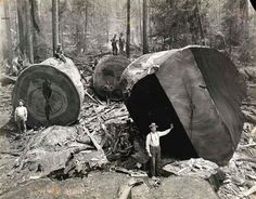 Amazing photos of vintage logging industry in the Redwood Forests of California