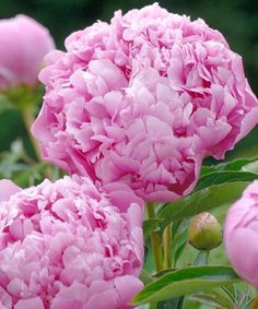 Paeonia Lactiflora, Cottage Garden Plants, Side Garden, Dobby, Flower Photos, Peonies, Rose, Flowers, Curb Appeal
