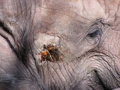 """TIL of """"Musth"""" a periodic condition that happens to male bull elephants where their testosterone levels get up to 60 times higher than usual. Scientific studies of Musth are next to impossible because its hard to study a 13 foot 15000 lb angry elephant."""