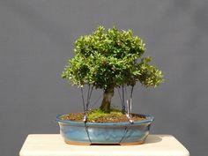 blackmagic Boxwood Bonsai, Bonsai Trees, Buxus, Flowering Trees, Planter Pots, Outdoor Plants, Perennial, Ponds, Hydroponics
