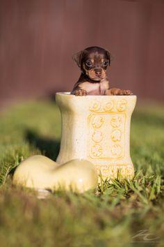 george the mini pup by Jim Zielinski on 500px