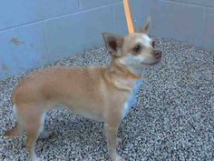 #A473111 Release date 9/27 I am a female, brown and white Chihuahua - Smooth Coated mix. Shelter staff think I am about 2 years old. I have been at the shelter since Sep 20, 2014.  For more information about this animal, call: San Bernardino City Animal Control at (909) 384-1304... Mehr anzeigen — hier: City of San Bernardino Anima https://www.facebook.com/photo.php?fbid=10203578708605883&set=a.10203202186593068&type=3&theater