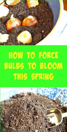How To Force Bulbs To Bloom This Spring