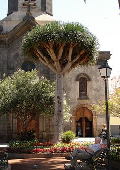 Tenerife, Spain. Drago frente a Catedral, Plaza del Charco, Puerto de la Cruz
