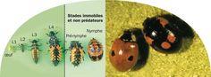 cycle de transformation de la larve de coccinelle en coccinelle adulte