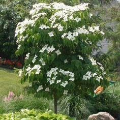 10 graines //seeds Sarcococca prunifolia