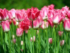 Spring! Pink tulips