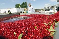 cherry harvest - Google Search