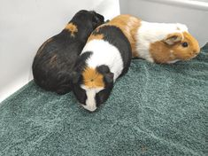 How to bath a Guinea Pig like an expert - Surrounded By Animals 🐾 Happy Animals, Cute Animals, Guinea Pig Accessories, Cute Guinea Pigs, Animal Pictures, Pets, Pig Stuff, Waiting, Fun