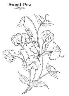Hummingbird and Lily Flower Drawing sophia Sargent - Flower Drawing Flower Outline, Flower Art, Sweet Pea Tattoo, Watercolor Flowers, Watercolor Paintings, Sweet Pea Plant, Simple Flower Drawing, Embroidery Designs, Sweet Pea Flowers