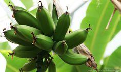 Receita de Biomassa De Banana Verde  ➡ https://www.segredodefinicaomuscular.com/biomassa-de-banana-verde/  #receitasfit  #receitas #dieta #fit #AlimentaçãoSaudável #ReeducaçãoAlimentar #SegredoDefiniçãoMuscular