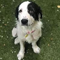 Pictures of Sunday a Border Collie for adoption in Dallas, TX who needs a loving home. Border Collie Mix, Animal Rescue Site, Dallas Texas, Your Pet, Adoption, Pets, Sunday, Pictures, Animals