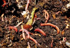 Worm composting or vermicomposting, uses the digestive power of earthworms to consume and recycle kitchen waste and other organic matter to create a. Organic Fertilizer, Organic Gardening, Recycled Kitchen, Worm Composting, Worm Farm, Kitchen Waste, Garden Compost, Healthy Environment, Compost