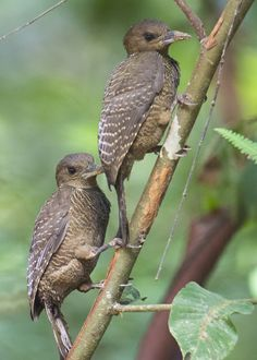 Buff-necked Woodpecker | Flickr - Photo Sharing!