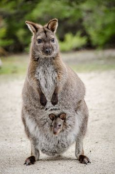 30 Best Tasmanian Wallabies Images Pademelon Wallaby Macropus