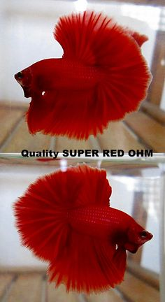 fwbettashm1401969977 - Quality SUPER RED OHM AAA