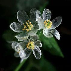 5~6월경 일본에서 피는 꽃, 산하엽, 하얀꽃을 피우고 비를 맞으면 투명해진다.