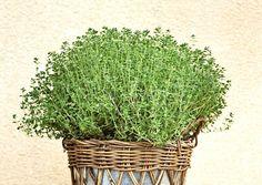 Plant Species, Growing Plants, Parsley, Herbs, Green, Herb, Medicinal Plants