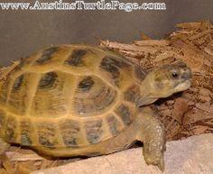Care Sheet - Russian Tortoise