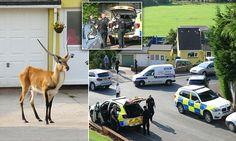 A dozen police sent to a sleepy Devon town after an antelope escaped