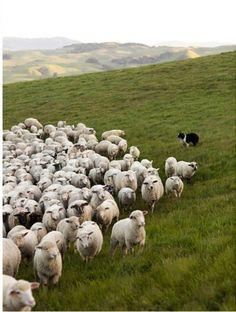Herding sheep in Scotland