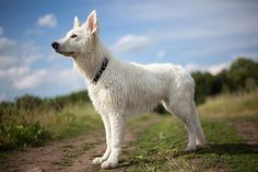 White Swiss Sheperd Dog