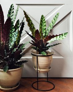 Having a major thing for patterned leaves this year. Just got in a load of these calathea lancifolia and they're massive! Sometimes nicknamed rattlesnake plant for their ruffled and patterned leaves. So rad!