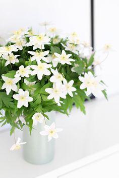 Skoven er fuld af dem i forårstiden - anemoner Month Flowers, Love Flowers, My Flower, Fresh Flowers, Spring Flowers, White Flowers, Beautiful Flowers, Beautiful Flower Arrangements, Floral Arrangements