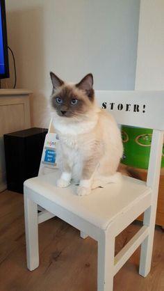 Fluffy.... wat lijk je op Mika en wat ben je LIEF! Cats, Animals, Gatos, Animales, Animaux, Animal, Cat, Animais, Kitty