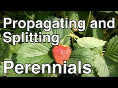 Propagating and Splitting Perennial Strawberries, Mint and Iris Organic Gardening, Gardening Tips, Indoor Gardening, Food Safety Tips, Propagation, Cuttings, Food Now, Strawberry Plants, Recipe Organization