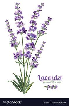 Lavender flowers elements Botanical vector image on VectorStock Lavender Paint, Lavender Flowers, Botanical Flowers, Lavander, Illustration Botanique, Illustration Blume, Watercolor Illustration, Watercolor Flowers, Watercolor Paintings