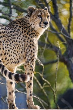 https://flic.kr/p/BrPysm | Cool cheetah standing | Another cool picture of one of the male cheetahs of the Kinderzoo...