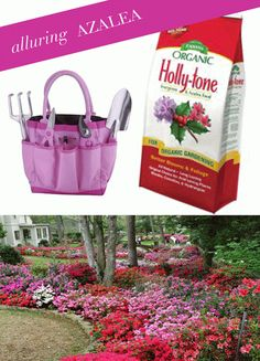Meet Me in the Garden: Azaleas Tips on planting and caring for azaleas