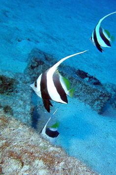 Small colony of pennant butterflyfish Flickr