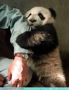 Today is National Panda Day.Get your laugh on to these 22 Funny Panda Pictures! Pandas Baby, Cute Baby Animals, Funny Animals, Kids Animals, Small Animals, Niedlicher Panda, Cute Panda, Panda Bears, Panda Funny
