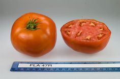 FLA 47R tomato, grown at Rutgers NJAES research farms.