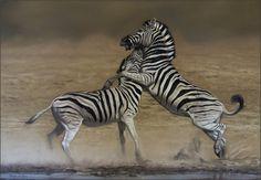 Fighting zebras in soft pastel