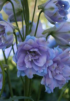 Delphinium x cultorum F1 Raider Blue by Chiltern Seeds - New Plants 2016