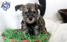 Carlie – Schnauzer – Mini Puppies for Sale in PA | Keystone Puppies