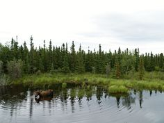 Moose in water makes circles. Our photographs are FREE and you can use them for web sites, mobile apps, image Placeholders, all private or commercial works etc. If you have any questions, write to info@freephotodb.com.
