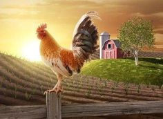 Rooster on fence post.