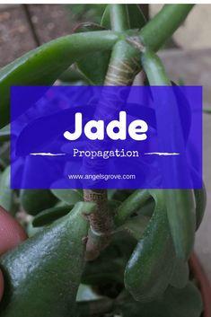 Propagating Jade | Succulent Propagation | Succulent Garden