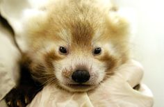 WOW! New baby red panda at Erie Zoo by Greg Wohlford