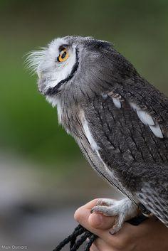 scopes owl   by Mark Dumont