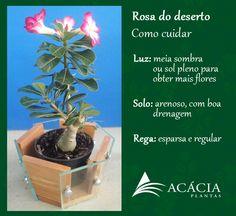 Rosa do Deserto - saiba como cuidar!