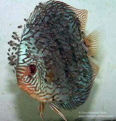 discus fish | discus fish
