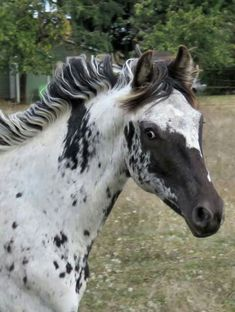 what an ADORABLE face on this Appaloosa youngster!