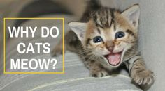Our cats are amazing companions who provide us with companionship and endless hours of fun. But why do cats meow? Kitty is trying to talk to you. Cool Cat Trees, Cool Cats, Kittens Cutest, Cats And Kittens, Adorable Cute Animals, Why Do Cats Purr, Cat Biting, Cute Animal Quotes, Cat Tree House