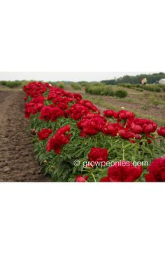 (Glasscock, One of the top true red hybrid peonies in the country. An early blooming true red with perfectly formed, bomb-shaped flowers. Buy Peonies, Gold Medal Winners, True Red, Countryside, Bloom, Charmed, Peony, Flowers, Gardens